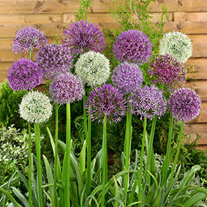 Giant Allium Mixed