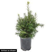 Upright Hicks Yew