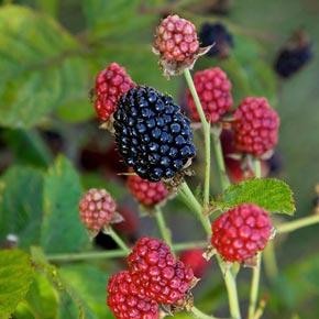 Baby Cake Thornless Blackberry