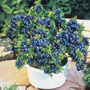 Dwarf Tophat Blueberry