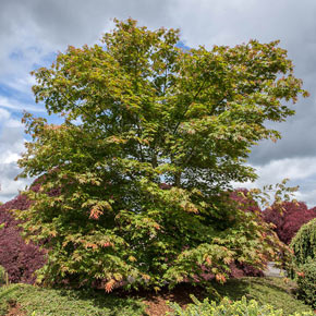 North Wind<sup>®</sup> Japanese Maple