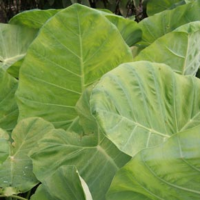 Thailand Giant Colocasia