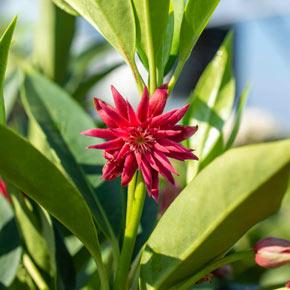 Illicium Star Flower Scorpio