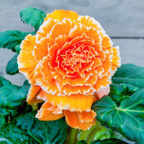 Lace Apricot Begonia