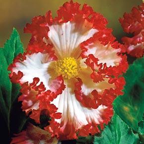 Crispa Marginata Begonia Mix