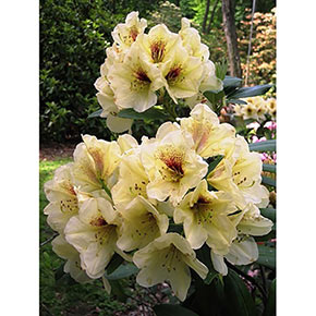 Holden's Solar Flair Evergreen Rhododendron