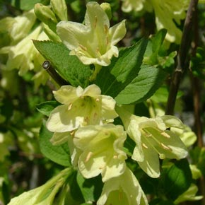 Lemon Ice™ Weigela