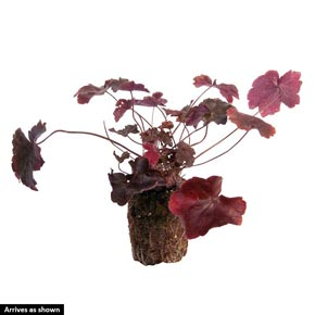 Wild Rose Heuchera