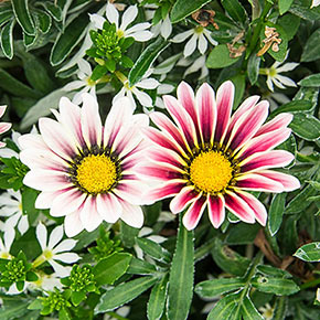 Big Kiss™ White Flame Gazania