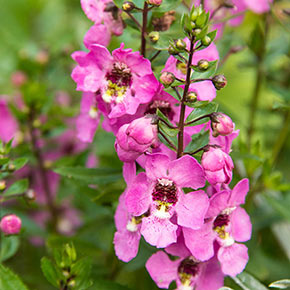 Archangel Pink Angelonia