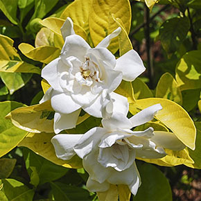 Gold Dubloon Gardenia