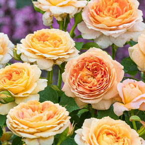 Fun in the Sun™ Grandiflora Rose