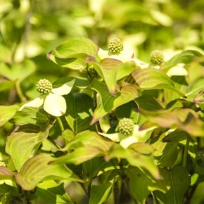 Blue Ray Flowering Dogwood Trees Spring Hill Nurseries