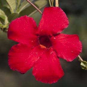 Sun Parasol<sup>®</sup> Pretty Crimson Mandevilla