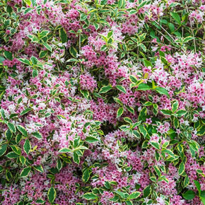 Lilacs hydrangeas other shrubs for sale at spring hill pink splash variegated weigela mightylinksfo