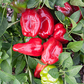 Redskin Pepper