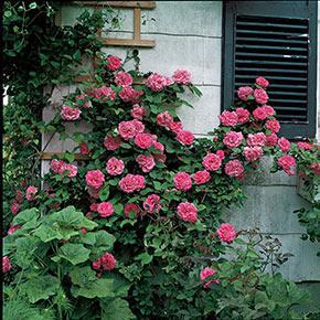 Zéphirine Drouhin Climbing Rose
