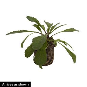Coconut Leucanthemum
