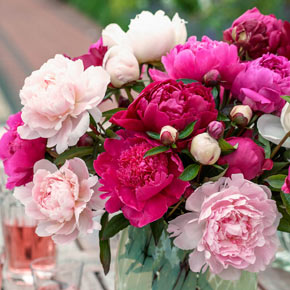 Peony Cutting Doubles Perennials Spring Hill Nurseries