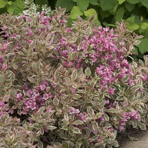 My Monet<sup>®</sup> Weigela