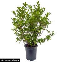 Hershey's Red Evergreen Azalea