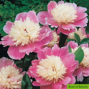 Longevity Peony Collection