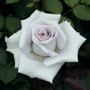 Stainless Steel™ Hybrid Tea Rose