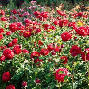 Honor Hybrid Tea Rose