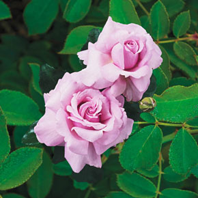 Memorial Day™ Hybrid Tea Rose-JB