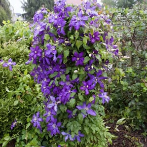 Rhapsody Clematis