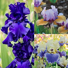 Moody Blues Bearded Iris Collection