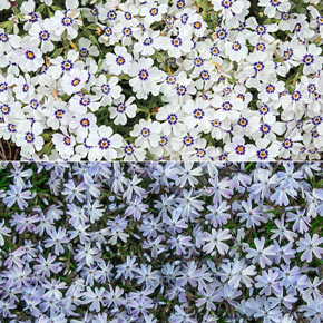 Delft groundcover phlox collection spring hill nurseries mightylinksfo
