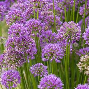 Millenium Perennial Allium