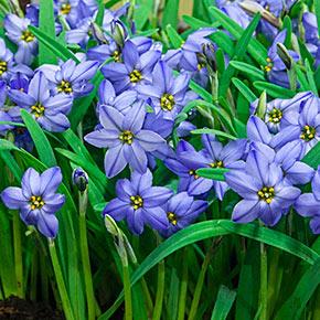 Jessie Spring Starflower