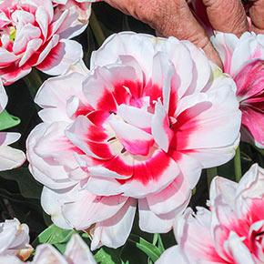 Chandelier Tulip