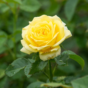 Yellow Freedom Rose