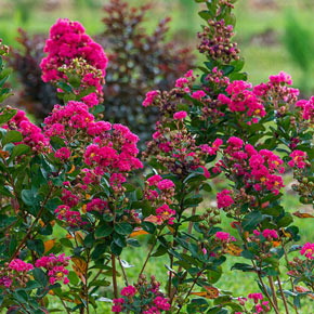 Northern Belle Hardy Watermelon Crape Myrtle