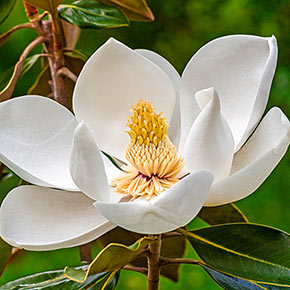 Green Mile™ Sweetbay Magnolia