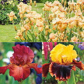 Spicy Hot Iris Collection