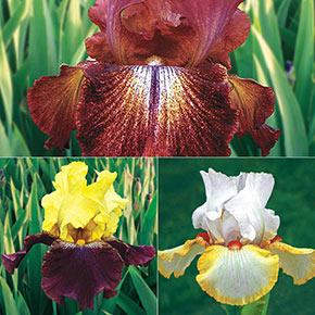 German Iris Reblooming Mix