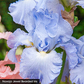 Heavenly Shades of Blue Iris Collection