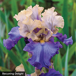 Reblooming Iris Collection