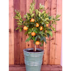 Washington Navel Orange Tree- 2 QT