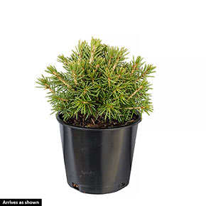 Tompa Spruce