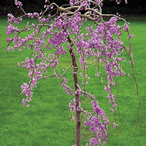 Lavender Twist<sup>®</sup> Weeping Redbud Tree