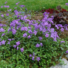 Sherwood Purple Woodland Phlox