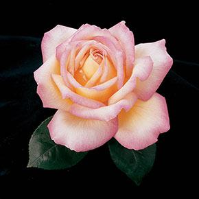 Peace Hybrid Tea Rose