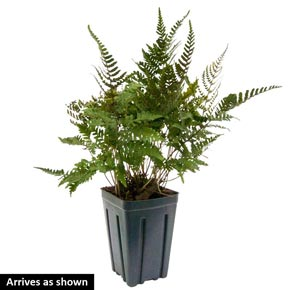 Burgundy Lace Japanese Painted Fern