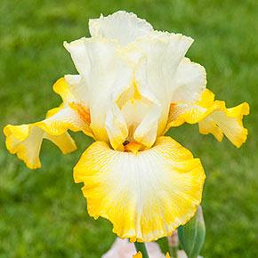 Zesting Lemons Bearded Iris