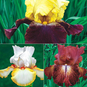 Spicy Hot Reblooming KickStart™ Iris